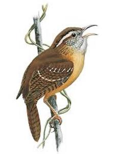 One of the sweetest songs to greet the dawn these days belongs to one of the Kingdom's smaller birds -- the Carolina Wren. Listen to it in the trees long before the sun comes up.
