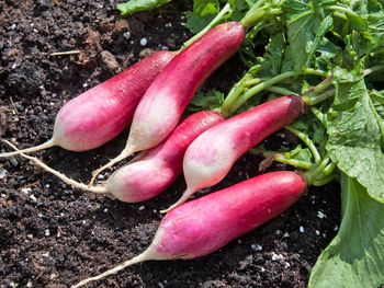 French-Breakfast-Radish-57c957f85f9b5829f4aa495f